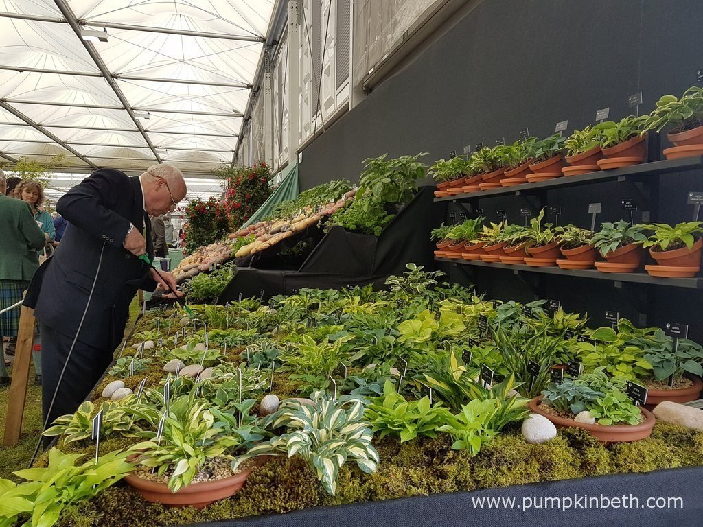 Jonathan Hogarth, of Hogarth Hostas, tending to his display of small and miniature Hostas, at the RHS Chelsea Flower Show 2016.