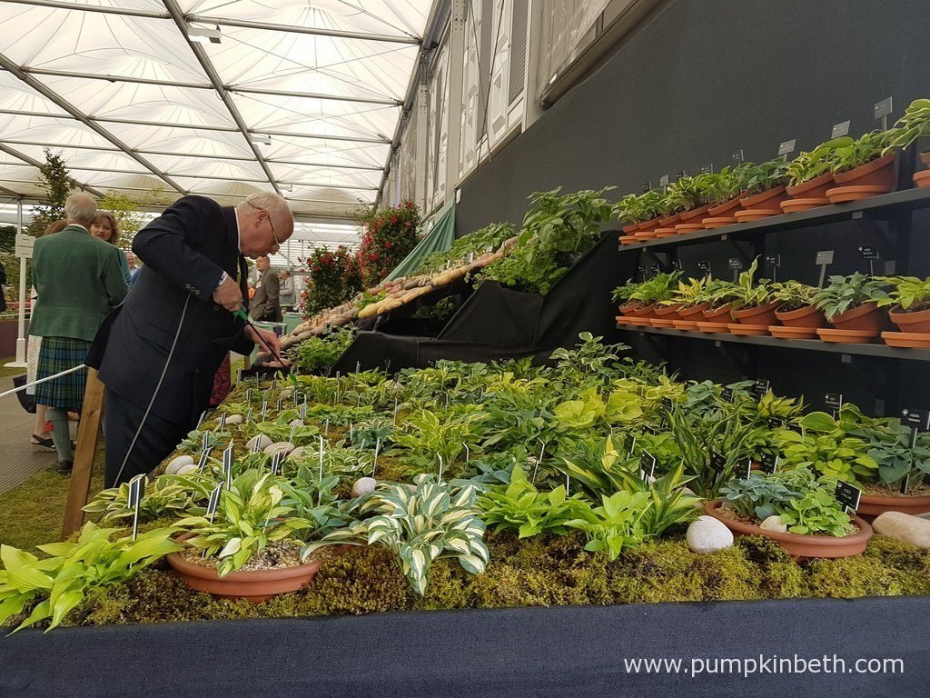 Jonathan Hogarth, of Hogarth Hostas, pictured tending to his display of small and miniature Hostas, at the RHS Chelsea Flower Show 2016.
