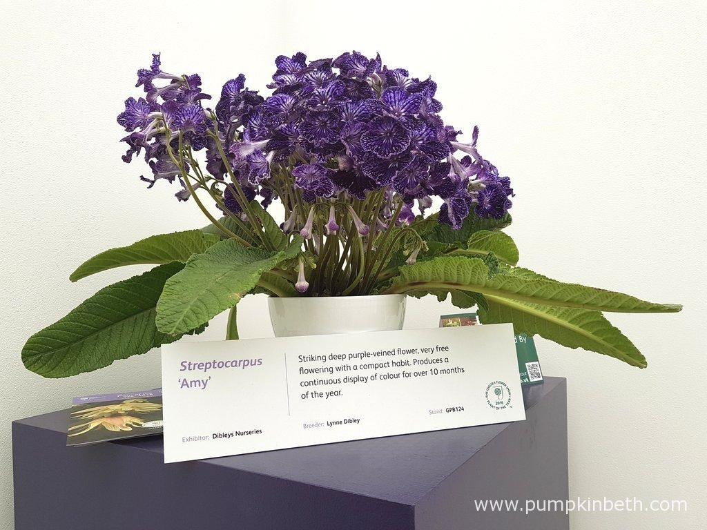 Streptocarpus 'Amy' was bred by Lynne Dibley, in Llanelidan, in North Wales.