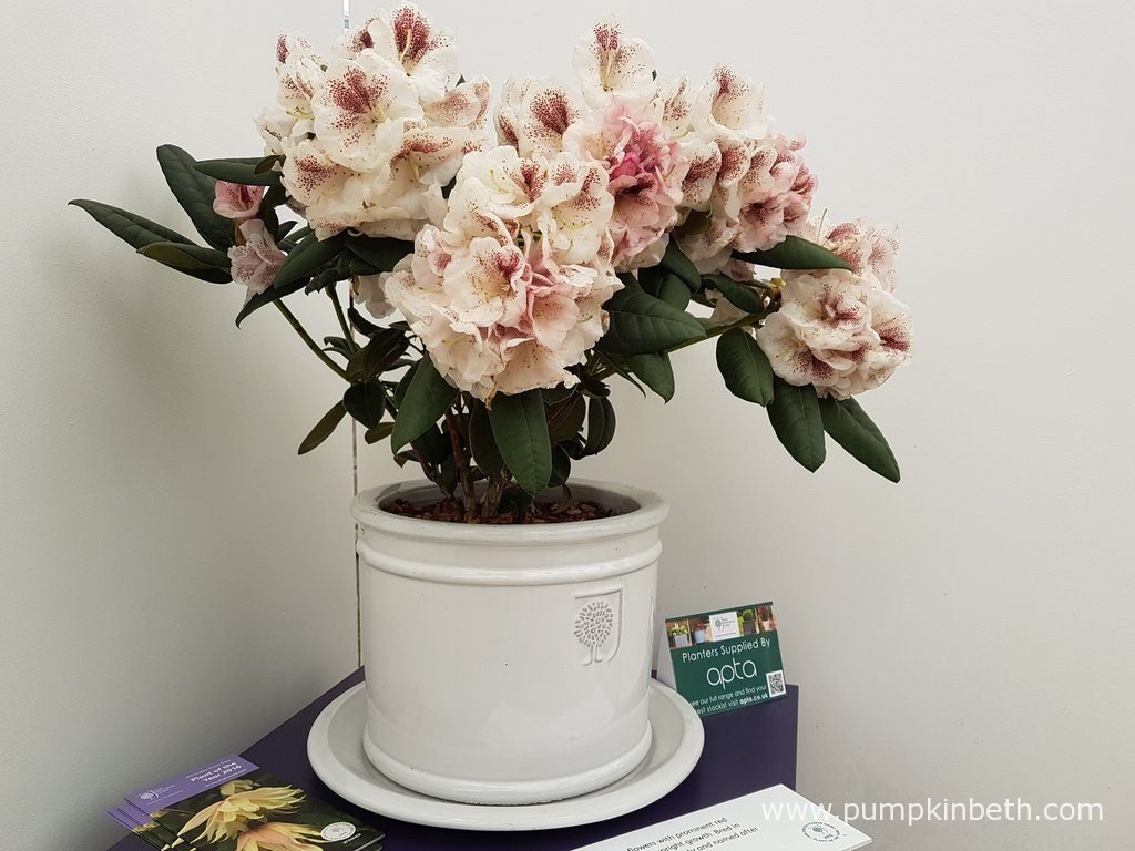 Plant Rhododendron 'Prinses Máxima' in dappled shade, in moist acid soil, or good quality ericaceous compost.
