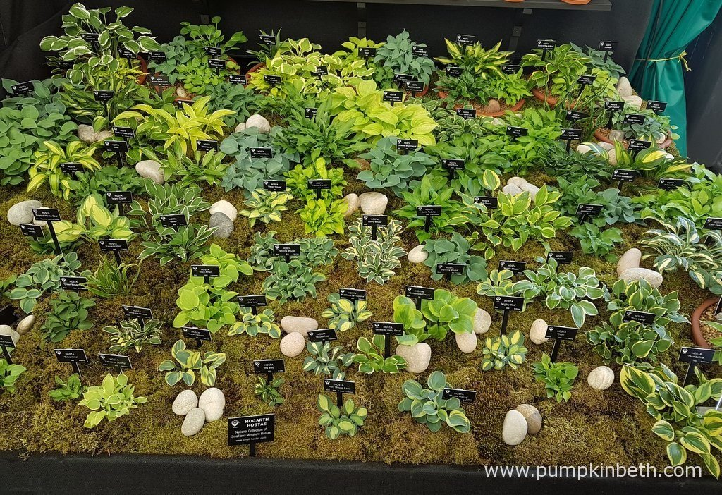 A closer look at the small and miniature Hostas, on Hogarth Hostas exhibit, at the RHS Chelsea Flower Show 2016.