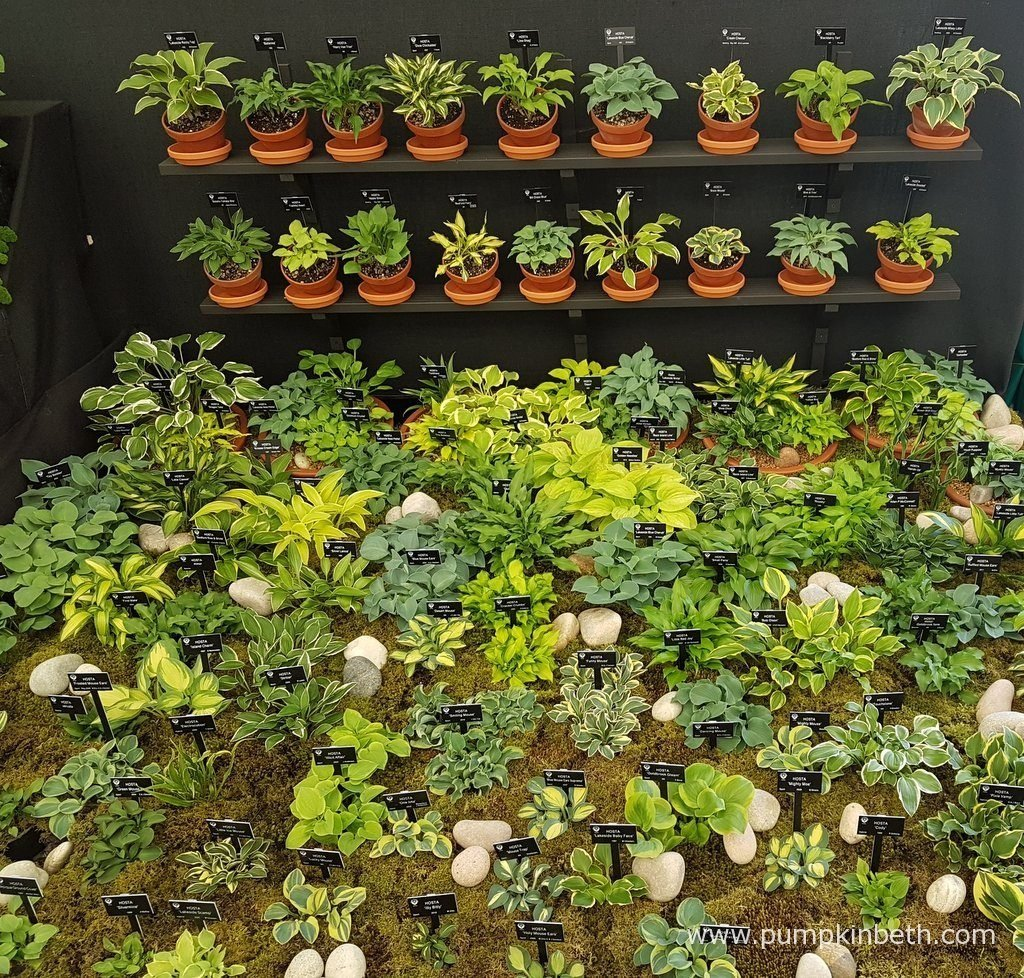 Hogarth Hostas At Chelsea And Hampton Court Palace Flower Shows 2016