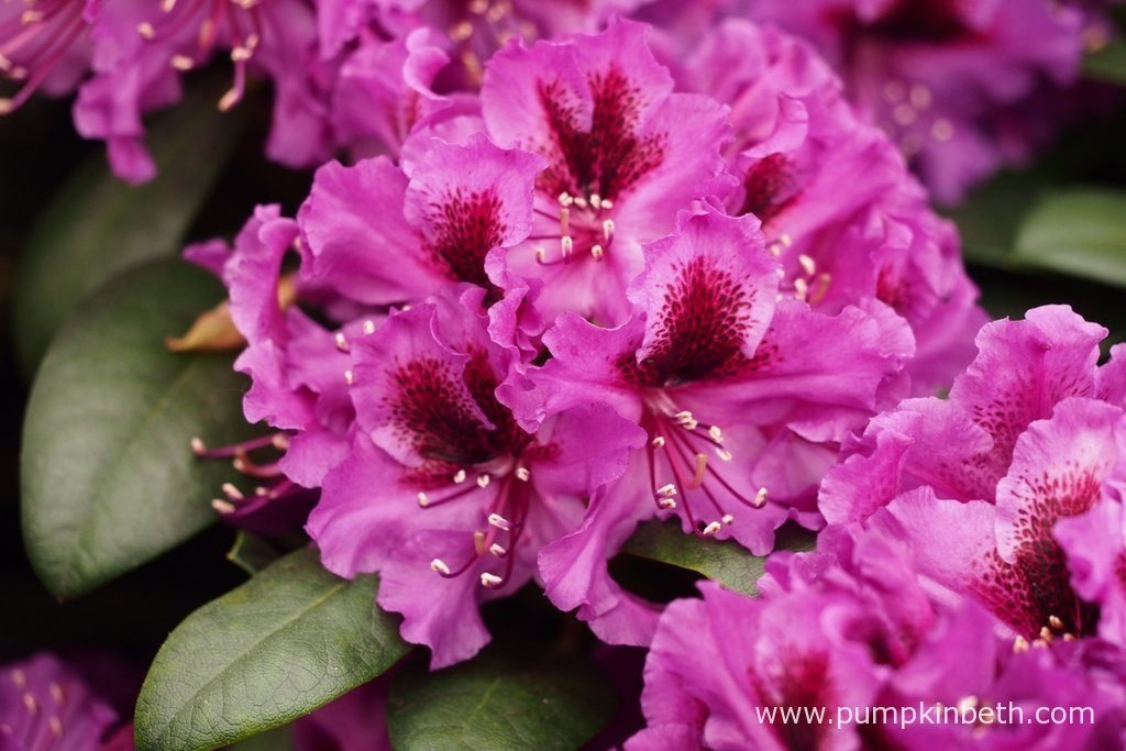 Rhododendron 'Orakel' will be happiest when planted in moist, acid soil, or good quality ericaceous compost, in dappled shade.