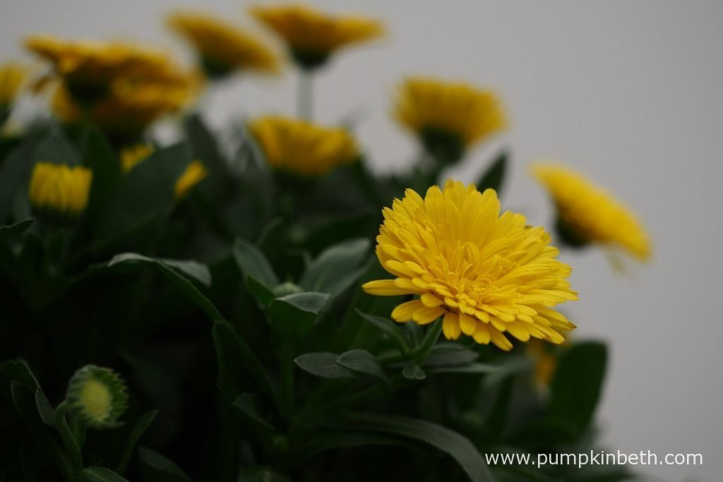 Calendula POWERDAISY SUNNY ('Kercalsun') (PowerDaisy Series) This new Calendula is virtually sterile, so it won't set seed all over your garden.