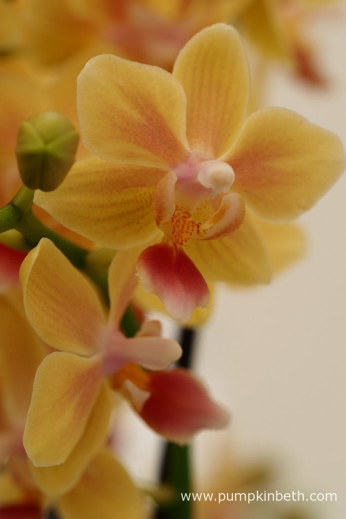 Phalaenopsis 'Sunny Smell' produces attractive, warm-coloured flowers in complementary tones of yellow, orange and red.