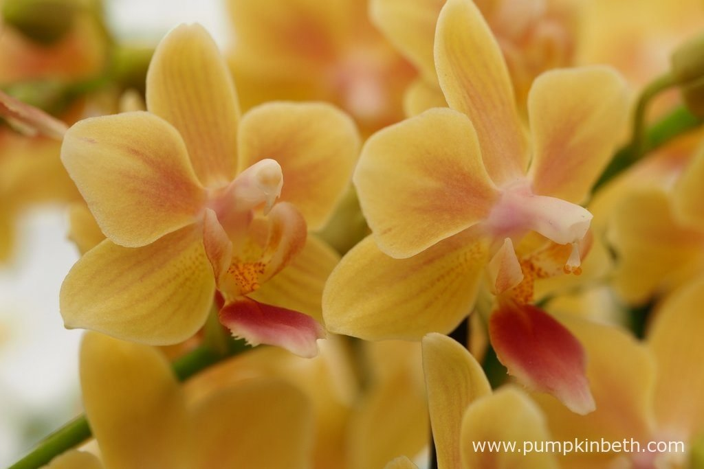 Phalaenopsis 'Sunny Smell'