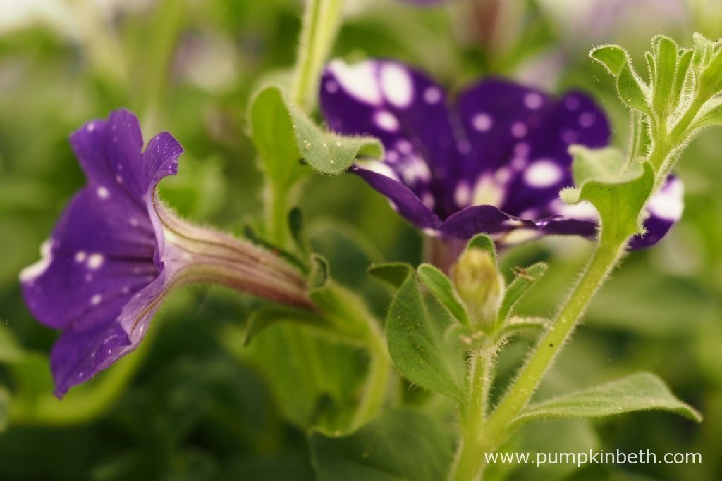 Petunia NIGHTSKY ('Kleph15313') will certainly provide a talking point or conversation piece with it's ever changing flower patterns.