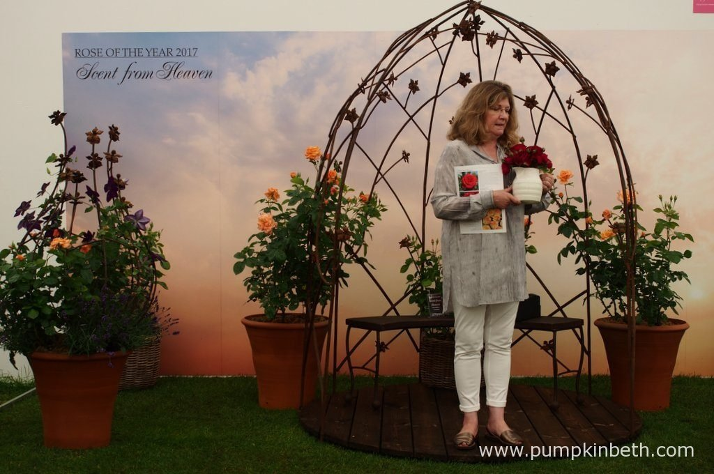 Marilyn Stevens from Roses UK introduced each of the rose breeders and their roses. Marilyn is pictured here inside The Festival of Roses Marquee, at the RHS Hampton Court Palace Flower Show 2016, Roses UK manage the Rose of the Year Trials and organise the Rose Festival at the RHS Hampton Court Palace Flower Show.