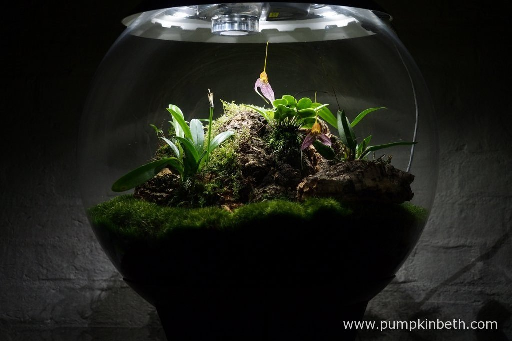 My Miniature Orchid Trial BiOrbAir Terrarium, as pictured on the 8th July 2016. Inside this terrarium Masdevallia decumana is currently in flower.
