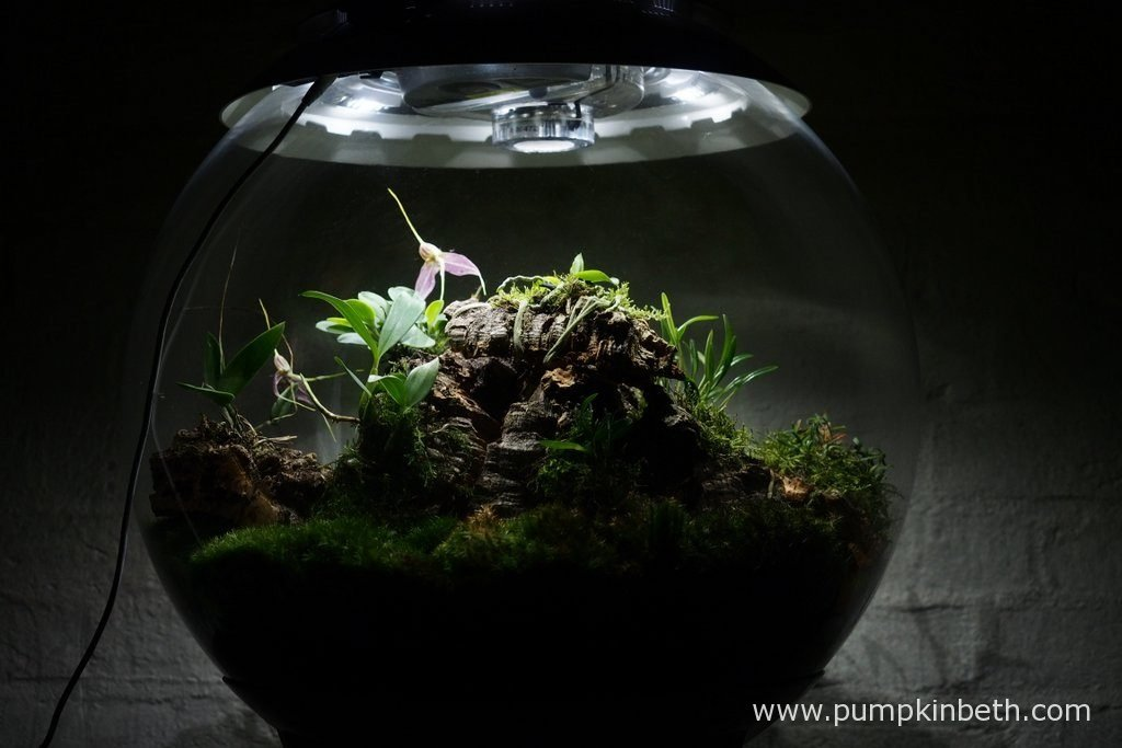 My Miniature Orchid Trial BiOrbAir Terrarium, as pictured on the 8th July 2016. Currently Masdevallia decumana is flowering inside this terrarium.