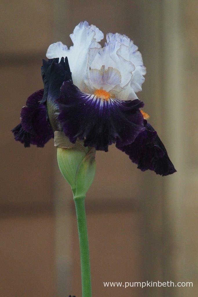 Iris 'Terre à Silex'. Iris 'Terre à Silex' is a mid-season, tall, bearded Iris