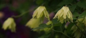 RHS Chelsea Flower Show Plant of The Year 2016