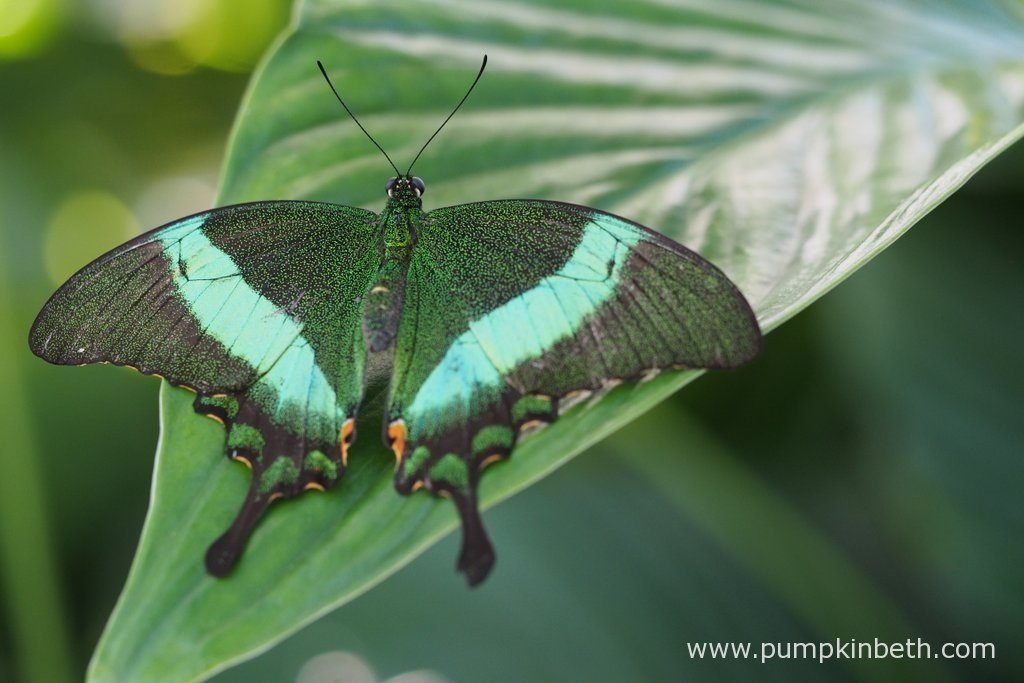 A magnificent Emerald Swallowtail Butterfly, also known as Papilio palinurus, pictured inside the Butterfly Dome at the RHS Hampton Court Palace Flower Show 2016.