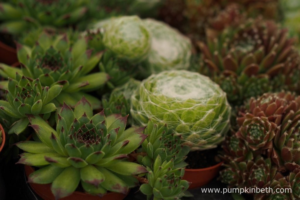 A range of succulents for sale on W & S Lockyer's stand, inside the Floral Marquee, at the RHS Hampton Court Palace Flower Show 2016.