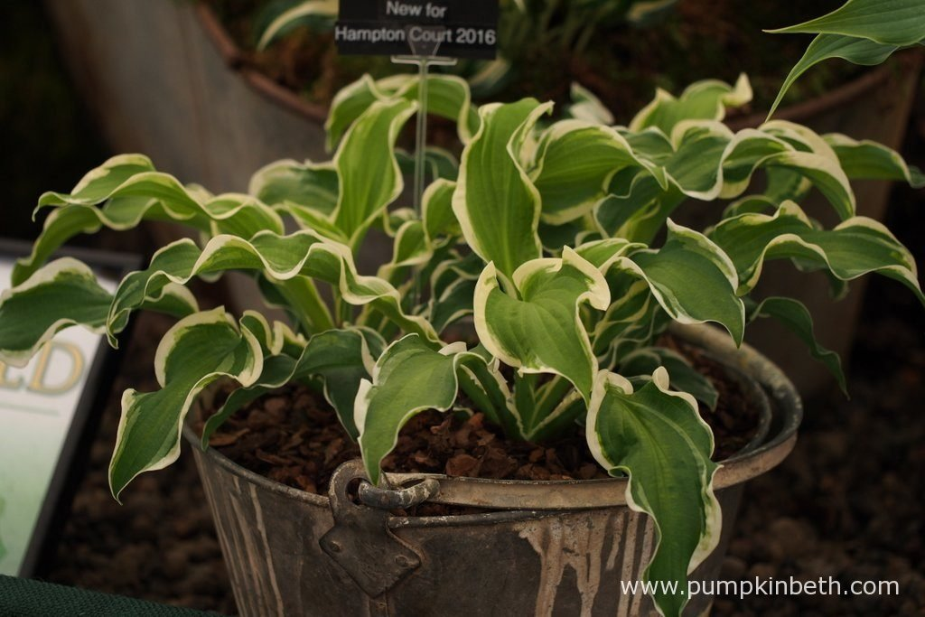 Hosta 'Let's Twist Again' is a new Hosta launched by Brookfield Plants, at the RHS Hampton Court Palace Flower Show 2016.