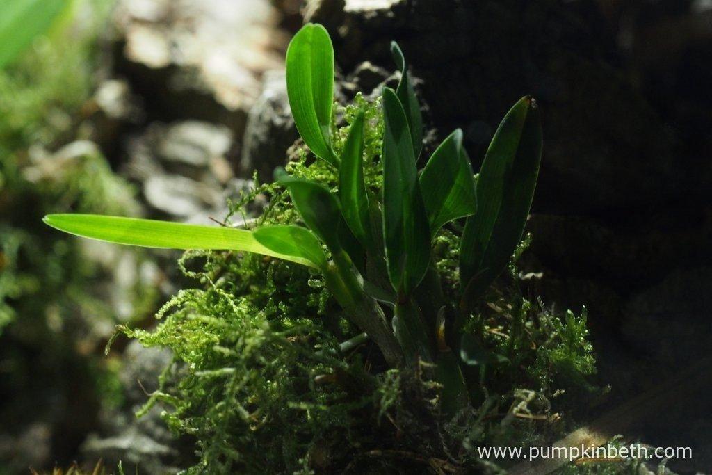 Diplocaulobium abbreviatum, as pictured inside my Miniature orchid Trial BiOrbAir Terrarium, on the 8th July 2016.