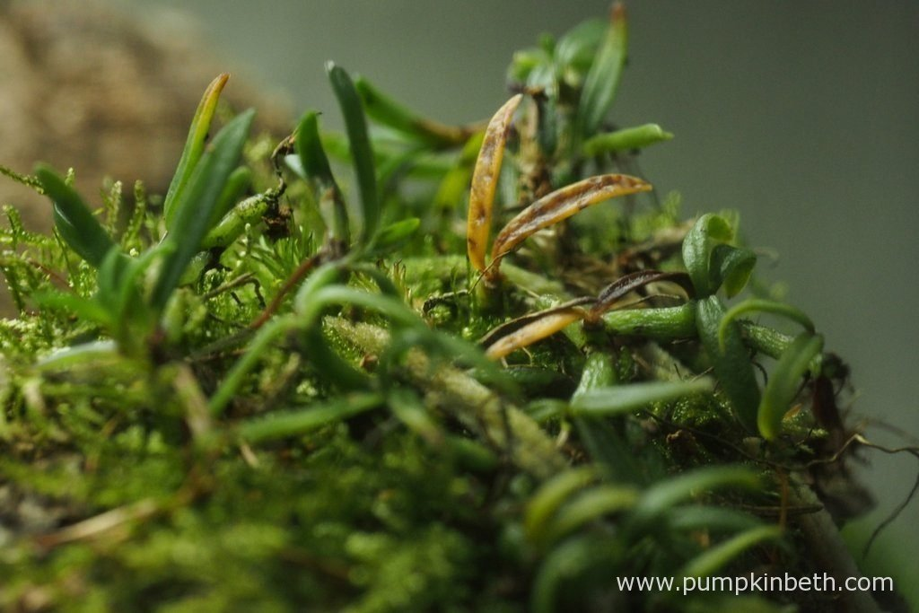 This Mediocalcar decoratum was recently given to me by a friend, it is the newest introduction to this terrarium. Unfortunately, I haven't misted this miniature orchid as often as it would have liked, something which I will rectify from now on. Pictured on the 8th July 2016, inside my Miniature Orchid Trial BiOrbAir Terrarium.