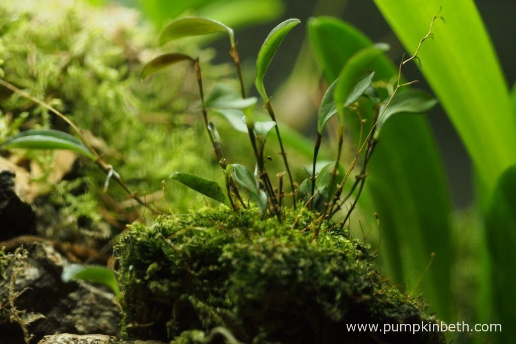 Lepanthopsis astrophora 'Stalky', pictured inside my Miniature Orchid Trial BiOrbAir Terrarium, on the 8th July 2016.