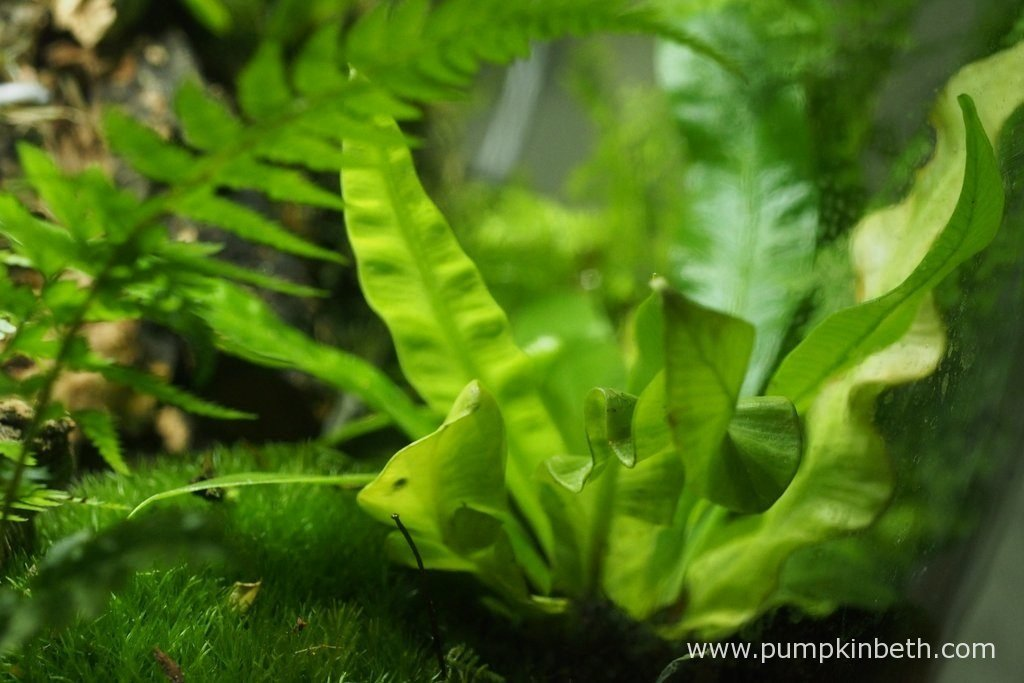 Asplenium nidus 'Crispy Wave', as pictured on the 10th July 2016, inside my BiOrbAir terrarium.