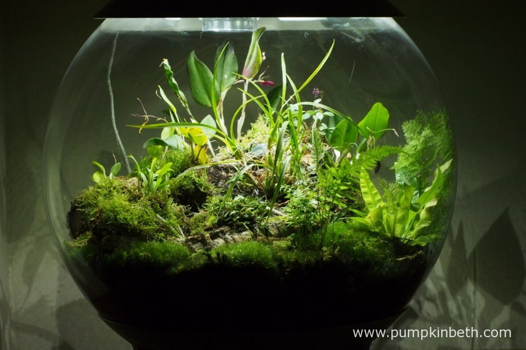 My BiOrbAir terrarium, as pictured on the 10th July 2016. Inside this terrarium, Lepanthopsis astrophora 'Stalky', Restrepia sanguinea, Restrepia purpurea 'Rayas Vino Tinto' and Restrepia antennifera are all in flower.