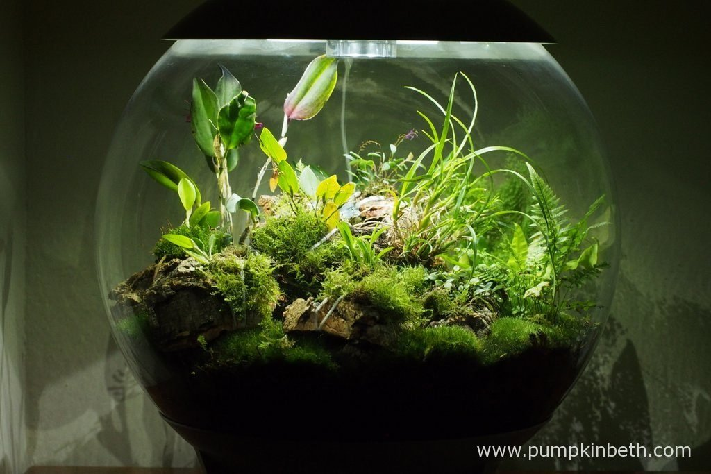 My BiOrbAir terrarium, as pictured on the 10th July 2016. Inside this terrarium, Lepanthopsis astrophora 'Stalky', Restrepia sanguinea, Restrepia purpurea 'Rayas Vino Tinto' and Restrepia antennifera are all flowering.
