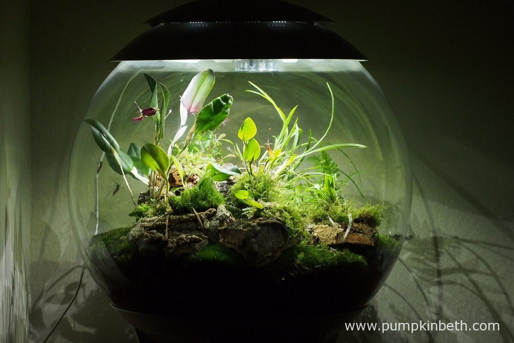 My BiOrbAir terrarium, as pictured on the 10th July 2016. Inside this terrarium, Lepanthopsis astrophora 'Stalky', Restrepia sanguinea, Restrepia purpurea 'Rayas Vino Tinto' and Restrepia antennifera are all currently in flower.