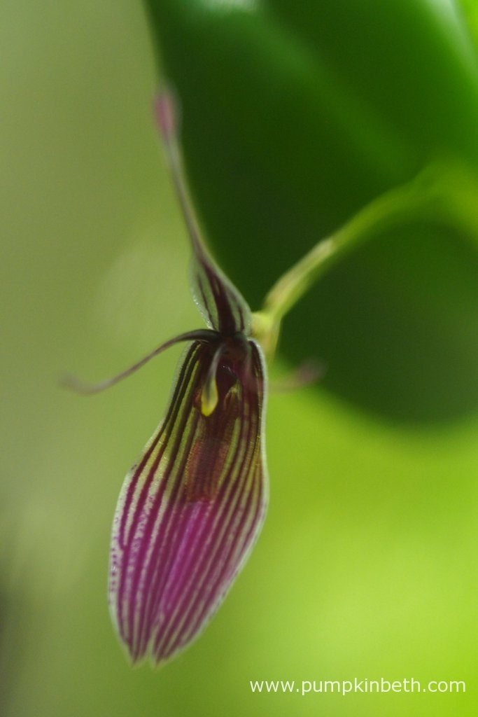Restrepia purpurea 'Rayas Vino Tinto', pictured on the 12th July 2016, inside my BiOrbAir terrarium.