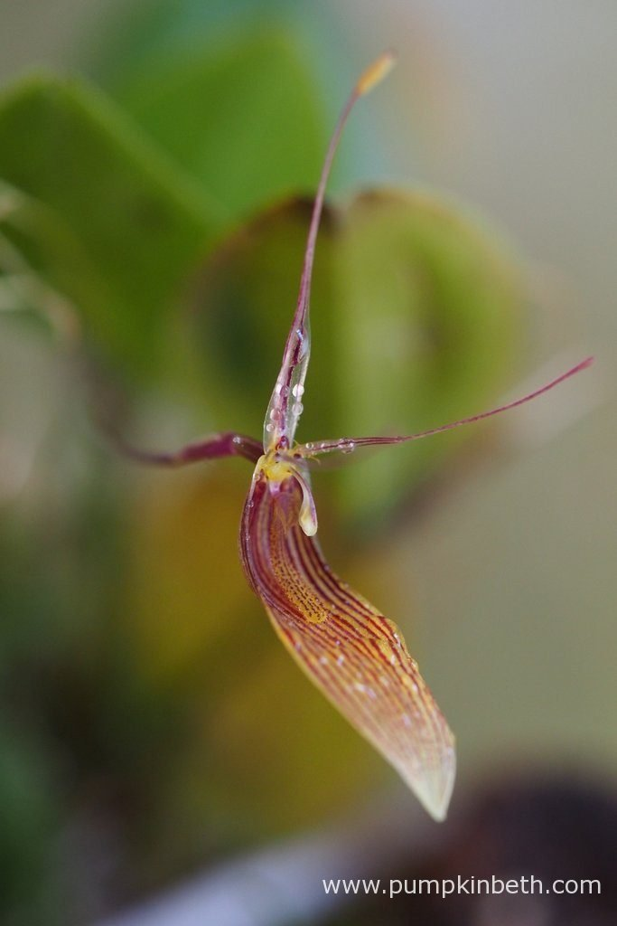 Restrepia antennifera, pictured on the 19th July 2016. I had just misted this orchid before I took these photographs, as you can see, there are droplets of water all over the flowers. If you avoid getting water on the flowers of your orchids, the flowers may last longer on the plant. This is something I never manage to do!