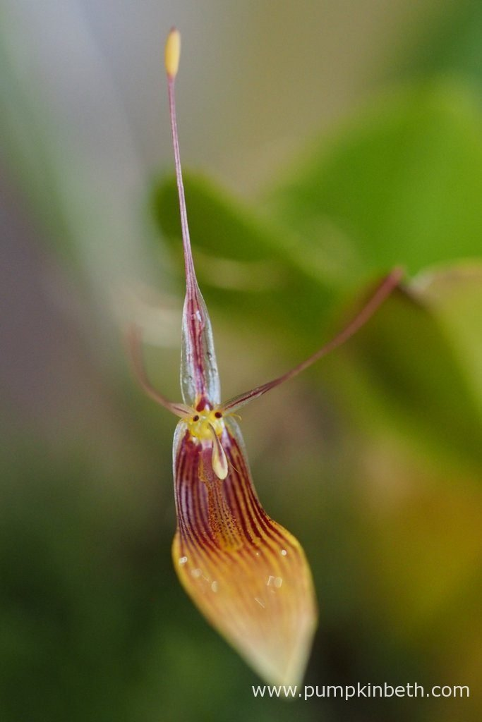 A closer look at Restrepia antennifera, pictured on the 19th July 2016.