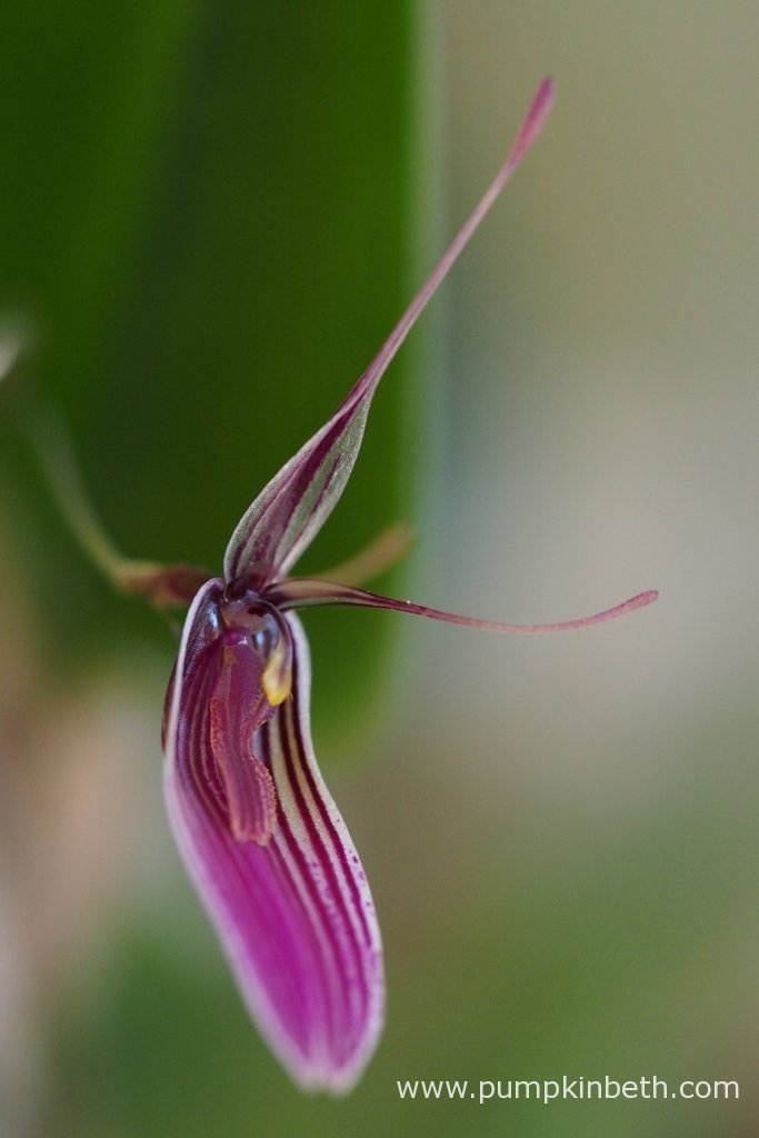 Restrepia purpurea 'Rayas Vino Tinto' pictured in flower on the 19th July 2016. This miniature orchid has thrived inside my BiOrbAir terrarium. Restrepia purpurea 'Rayas Vino Tinto' enjoys regular misting, I have found that it prefers damp, humid conditions.