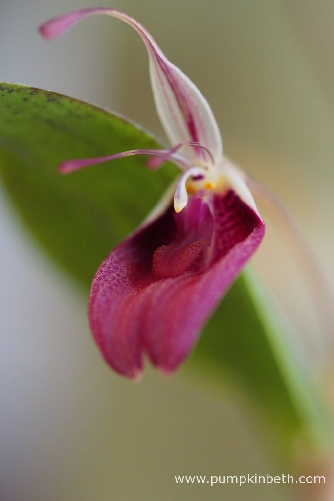 Restrepia sanguinea, in flower on the 19th July 2016. This miniature orchid has larger flowers than Restrepia purpurea 'Rayas Vino Tinto', though in the time I have been growing these two orchids, I have found Restrepia purpurea 'Rayas Vino Tinto' to be far more floriferous.