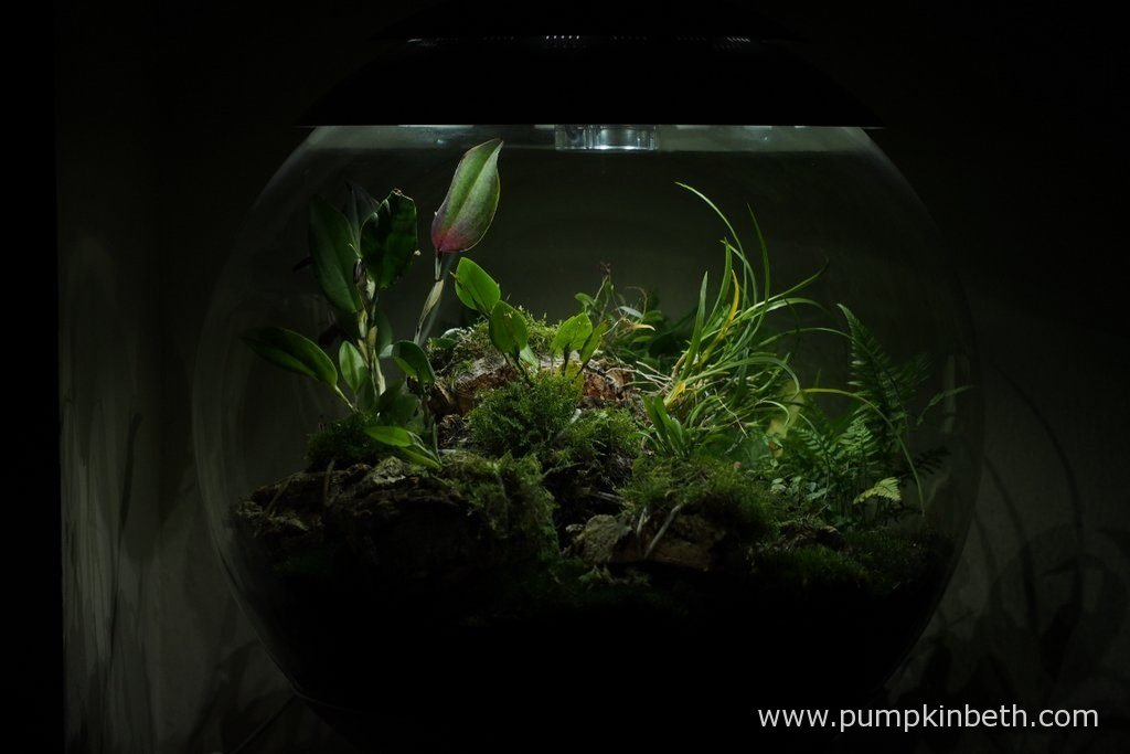 My BiOrbAir terrarium as pictured on the 19th July 2016. Inside this terrarium, Restrepia antennifera, Restrepia purpurea 'Rayas Vino Tinto', Restrepia sanguinea, and Lepanthopsis astrophora 'Stalky' are all in flower.