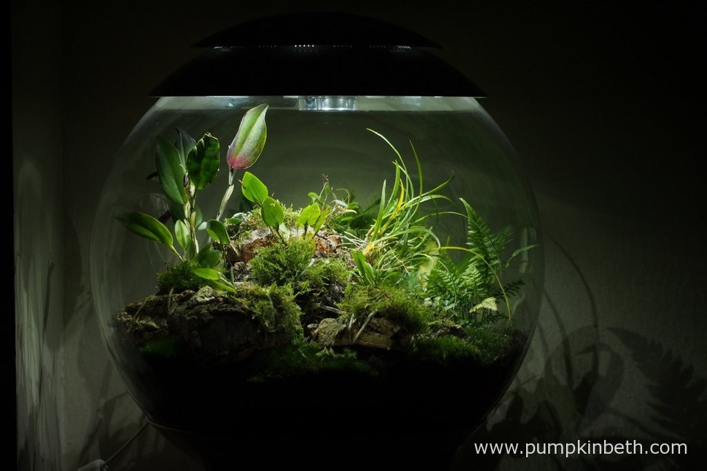 My BiOrbAir terrarium, as pictured on the 19th July 2016. Restrepia antennifera, Restrepia purpurea 'Rayas Vino Tinto', Restrepia sanguinea, and Lepanthopsis astrophora 'Stalky', are all in flower inside this terrarium.