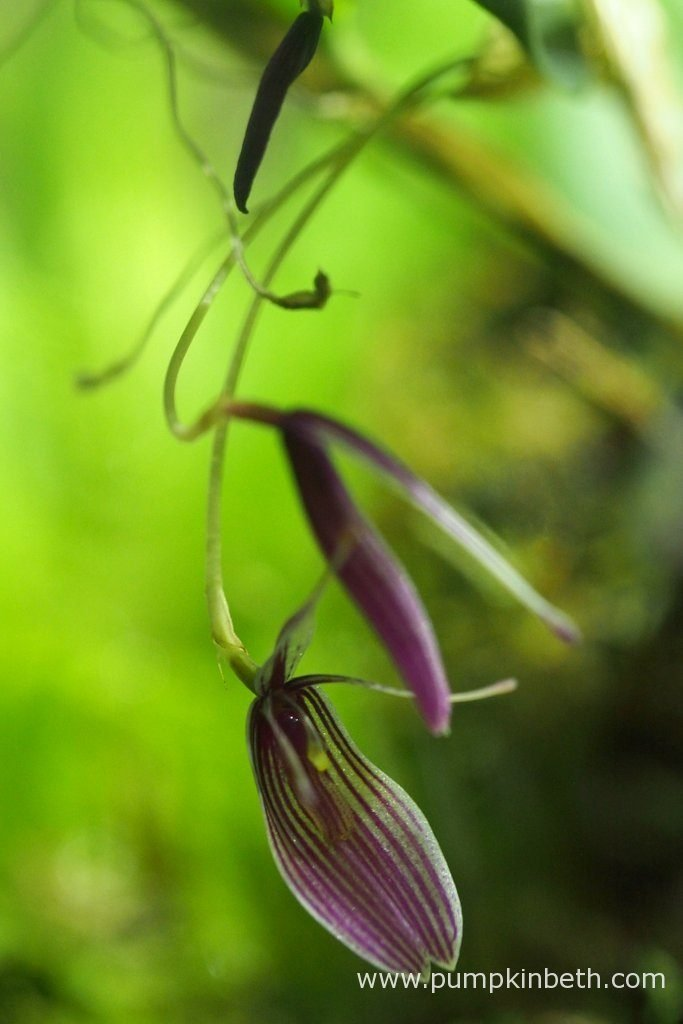 Restrepia purpurea 'Rayas Vino Tinto', pictured on the 26th July 2016, inside my BiOrbAir terrarium. This miniature orchid is very floriferous and has many open flowers.