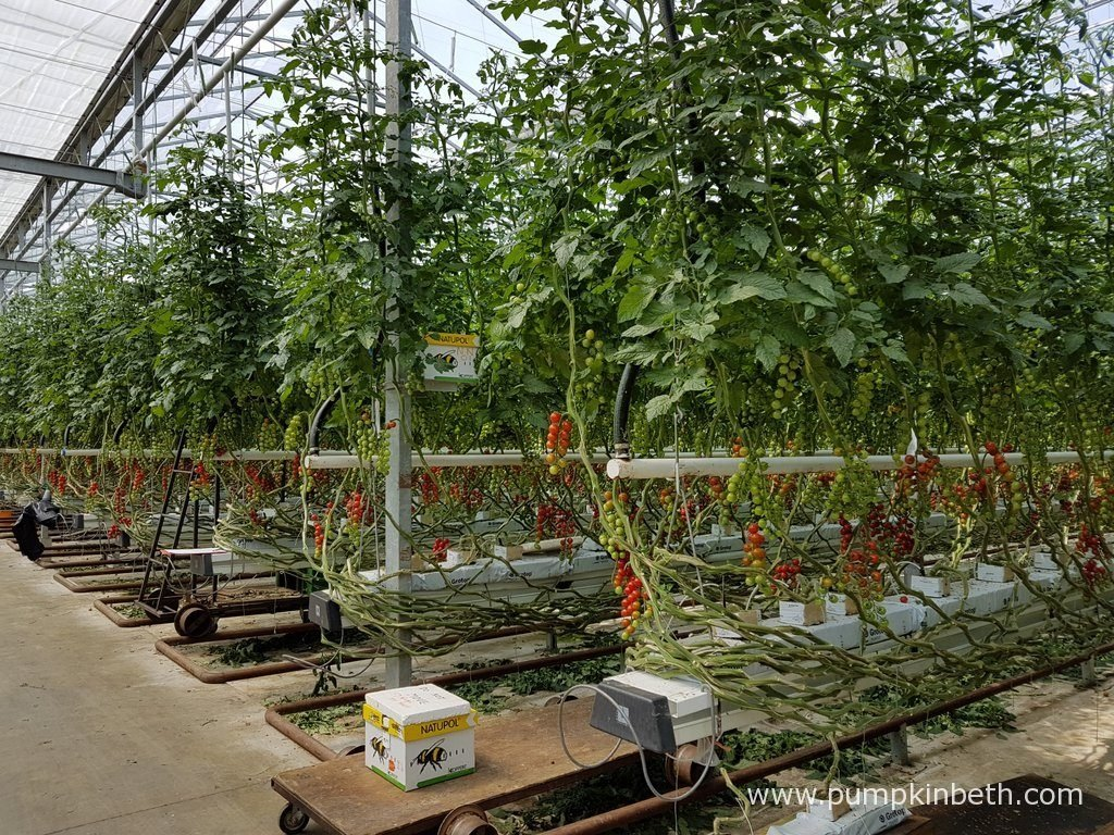 Eric Wall Ltd pollinate their tomato crops using hives of British bees. Their tomato plants are specially grafted using F1 hyrbid tomatoes. Eric Wall Ltd grow a number of different tomato varieties at their nursery in Barnham, Chichester, West Sussex.