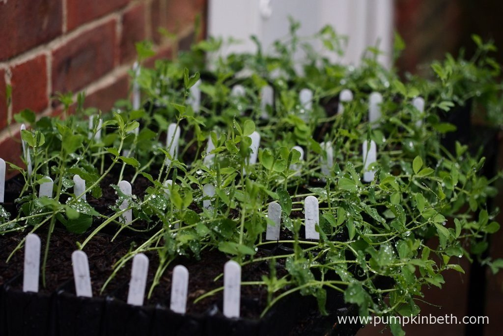 I grow my sweet peas in Deep Rootrainers - deep seed trays, which encourage the formation of strong, healthy roots. I use the Rootrainers Racking Station, which is a great space saver - it holds eight packs of Deep Rootrainers over two levels.