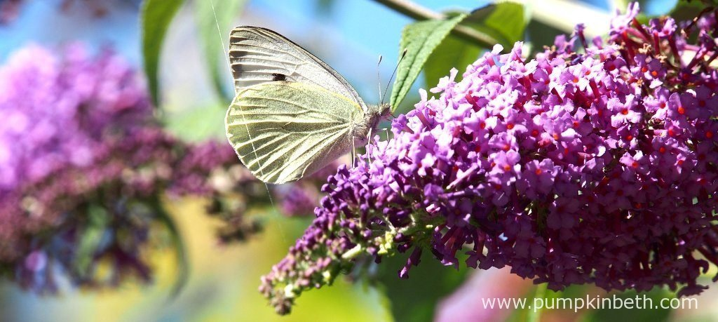 This is a Large White butterfly, also known by its scientific name of Pieris brassicae, it's feeding on Buddleja davidii. The Large White butterfly, is commonly seen in the UK. This butterfly is most certainly the variety that I have spotted most often this year.