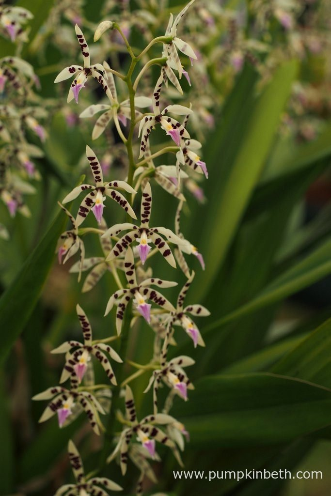 Prosthechea prismatocarpa, as pictured on the Writhlington Orchid Project's exhibit at the RHS Hampton Court Palace Flower Show 2016.
