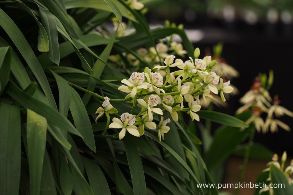 Prosthechea radiata, a native of Mexico and Guatemala, pictured on the Writhlington Orchid Project's exhibit, at the RHS Hampton Court Palace Flower Show 2016.