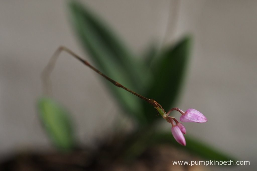 This Domingoa purpurea specimen has produced three flower buds, on one of its two flower spikes. This plant does have one other flower spike, but the second spike doesn't have any buds as yet. Pictured on the 13th August 2016. I initially included this miniature orchid in my original planting of this terrarium, as a bit of a joke, as it has long flower spikes, which because of their length, makes this miniature orchid not an ideal choice for small terrariums.