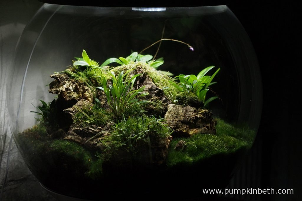 My Miniature Orchid Trial BiOrbAir Terrarium pictured on the 13th August 2016. This BiOrbAir terrarium is now a year old. Some of the plants that are currently growing inside this terrarium were included in the original planting of this terrarium: for example: Angraecum equitans, Diplocaulobium abbreviatum, Domingoa purpurea, and Masdevallia decumana.