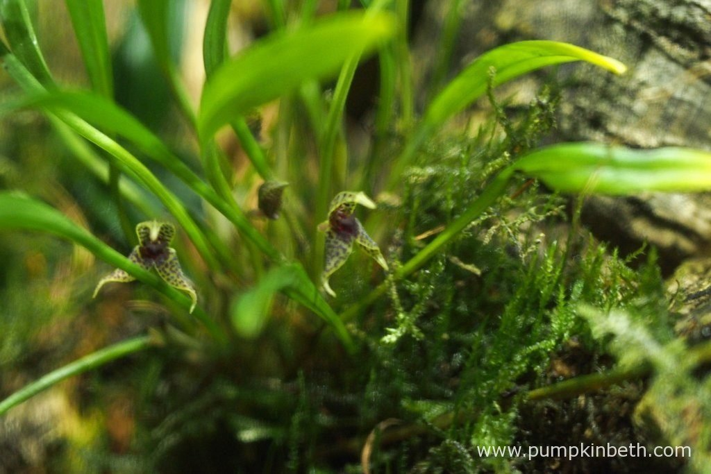 A closer look at the tiny flowers of Dryadella simula, as pictured on the 13th August 2016, inside my Miniature Orchid Trial BiOrbAir Terrarium.