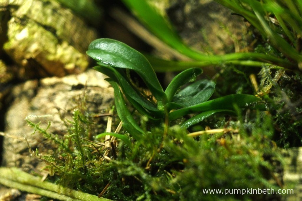 Angraecum equitans, as pictured on the 13th August 2016, inside my Miniature Orchid Trial BiOrbAir Terrarium. This miniature orchid was included in the original planting of this terrarium a year ago, this specimen has yet to flower.