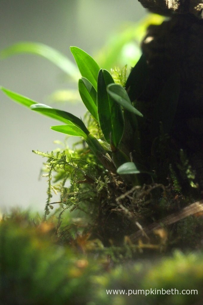 Diplocaulobium abbreviatum, as pictured inside my Miniature orchid Trial BiOrbAir Terrarium, on the 13th August 2016. This miniature orchid was included in the original planting of this terrarium a year ago. So far, this specimen is yet to flower. I do wonder whether I should move this miniature orchid onto a better position within this terrarium, where it will receive more light.