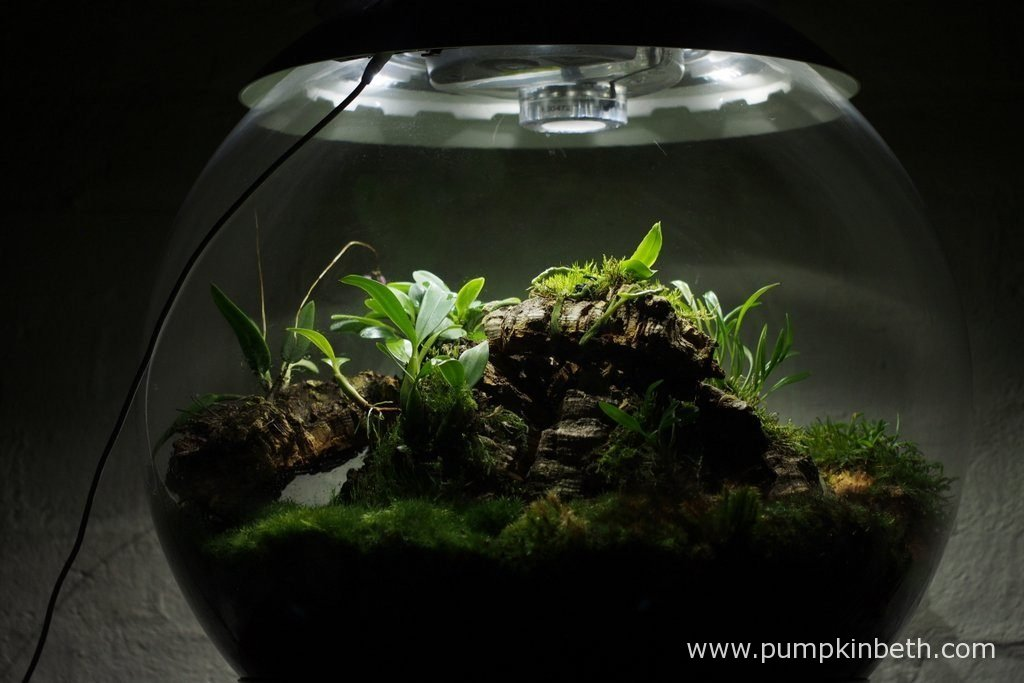 This terrarium is now a year old. I have so enjoyed trialling miniature orchids inside this terrarium over the past year. The moss inside this terrarium was included in the original planting a year ago.