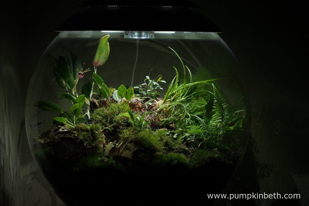 My BiOrbAir Terrarium is pictured here on the 13th August 2016. Inside this terrarium, Restrepia sanguinea and Restrepia purpurea 'Rayas Vino Tinto' are both currently flowering.