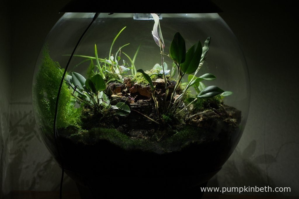 My BiOrbAir Terrarium is pictured here on the 13th August 2016. This BiOrbAir terrarium is planted with a variety of miniature orchids, ferns and moss. On the left hand side of the globe in this photograph, you can see Nephrolepis exaltata 'Fluffy Ruffles', a beautiful, fresh green coloured fern, which has grown rapidly over the past couple of months inside my BiOrbAir terrarium.