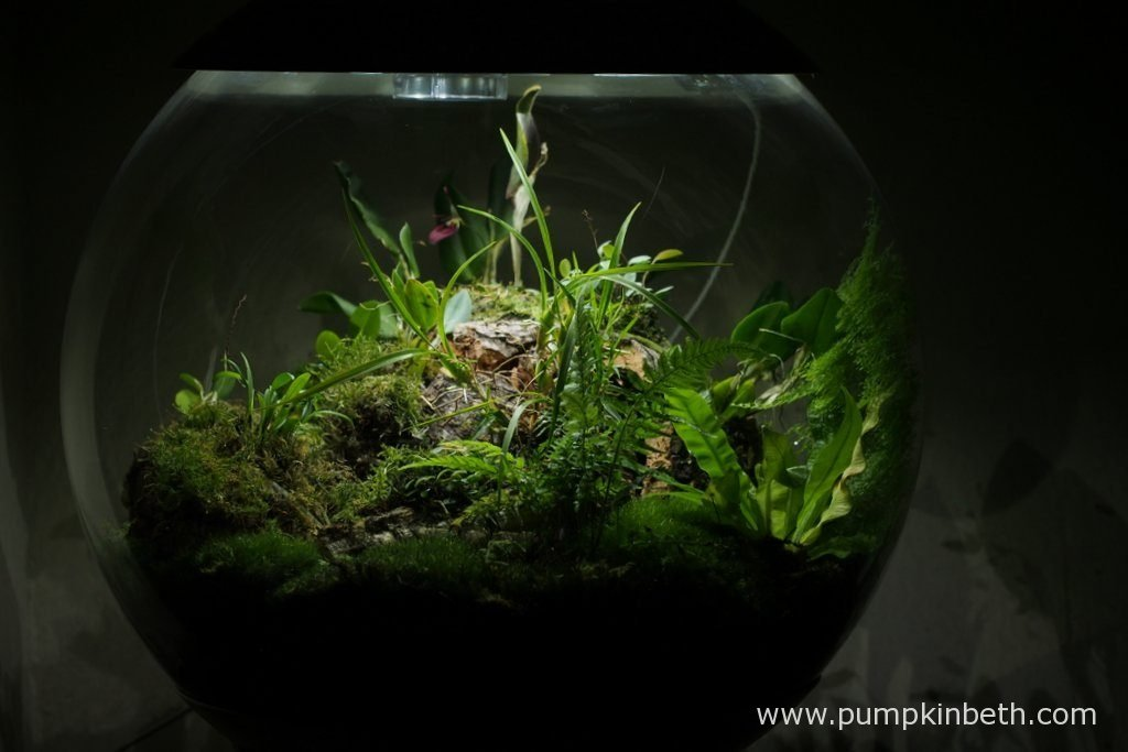 My BiOrbAir Terrarium is pictured here on the 13th August 2016. This BiOrbAir terrarium is planted with a variety of miniature orchids, ferns and moss.