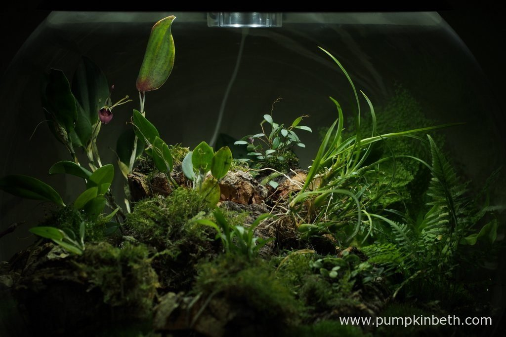 A closer look at the planting inside my BiOrbAir Terrarium on the 13th August 2016. Inside this terrarium, Restrepia sanguinea and Restrepia purpurea 'Rayas Vino Tinto' are both flowering.