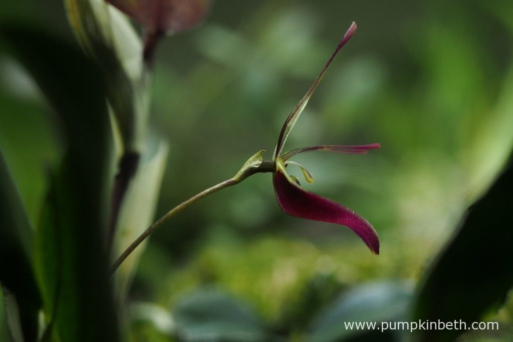 Restrepia sanguinea, pictured in flower, inside my BiOrbAir Terrarium, on the 13th August 2016.